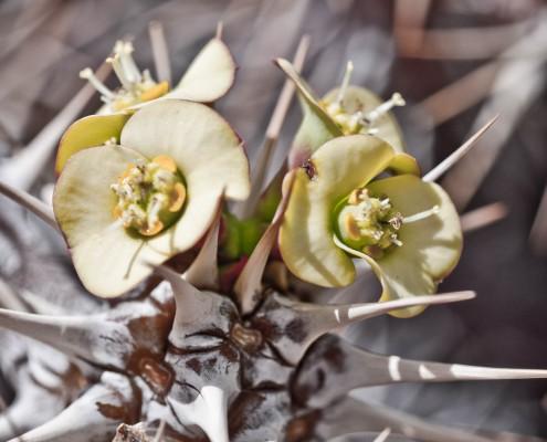 gran-canaria-makros-kaktus-5
